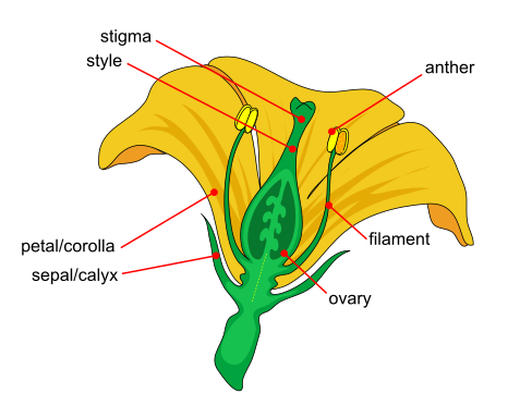 A cross section of a flower showing its different parts: petals, sepals, anther, filament, stigma, style, ovary.