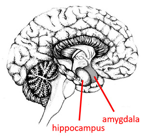An illustration of a cross-section of the brain. The hippocampus and the amygdala are labeled.